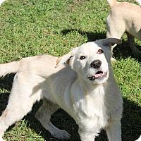 Adopt A Pet :: Harley - Flower Mound, TX