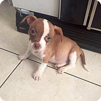 Adopt A Pet :: Attina - Miami, FL