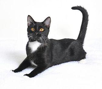 Domestic Shorthair Kitten for adoption in Roseville, California - Buster Posey