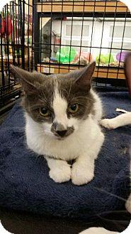 Domestic Mediumhair Cat for adoption in Putnam, Connecticut - Jax