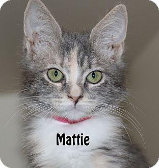 Domestic Mediumhair Kitten for adoption in Idaho Falls, Idaho - Mattie