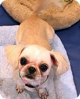 Shih Tzu Dog for adoption in Atlanta, Georgia - Prissy