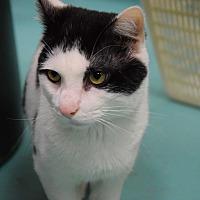 Domestic Mediumhair Cat for adoption in Pottsville, Pennsylvania - Andrew