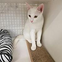 Adopt A Pet :: Marshmellow - St. Cloud, FL