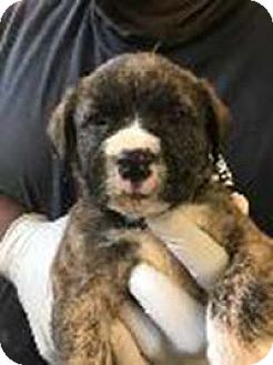 Boxer Mix Puppy for adoption in Chantilly, Virginia - Willow's Kade