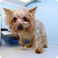 Adopt A Pet :: Brooke - New York, NY