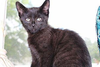 Domestic Shorthair Kitten for adoption in Berkeley Hts, New Jersey - Luke