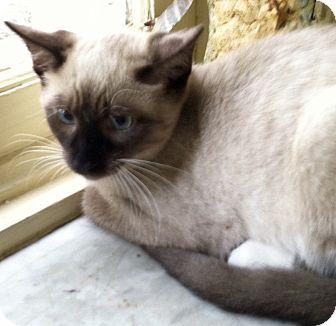 Siamese Cat for adoption in Philadelphia, Pennsylvania - Yosemite Sam