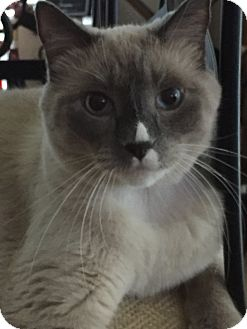Snowshoe Cat for adoption in Plano, Texas - MAXWELL - STUNNING SNOWSHOE