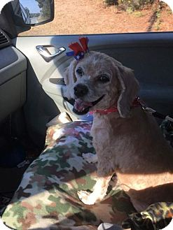 Cocker Spaniel Mix Dog for adoption in Whitestone, New York - Autumn
