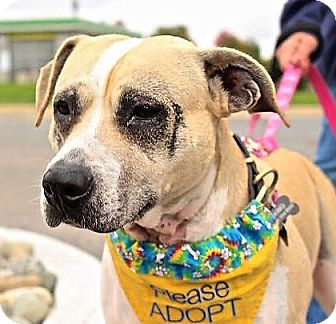 Boxer/Terrier (Unknown Type, Medium) Mix Dog for adoption in Bruce Township, Michigan - Queen Anne