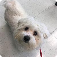 Adopt A Pet :: Gordo - Nashville, TN