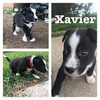 Adopt A Pet :: Xavier - White Settlement, TX