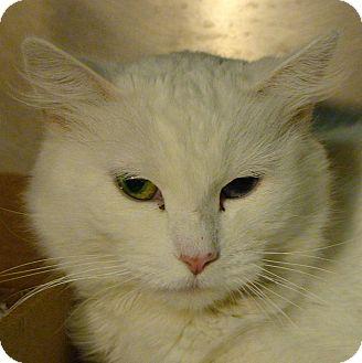 Domestic Mediumhair Cat for adoption in El Cajon, California - Lola