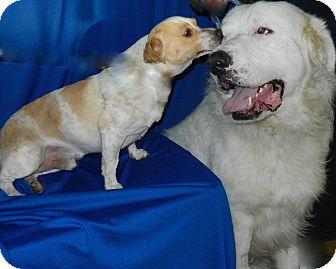 Great Pyrenees/Terrier (Unknown Type, Medium) Mix Dog for adoption in Granite Bay, California - Yogi & BooBoo