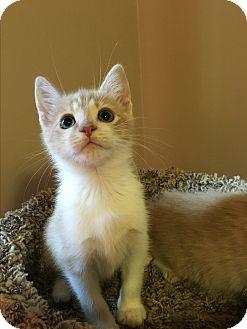 Domestic Shorthair Kitten for adoption in Mount Laurel, New Jersey - Hudson