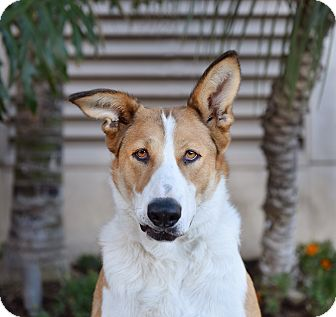 Collie/German Shepherd Dog Mix Dog for adoption in San Diego, California - Luna