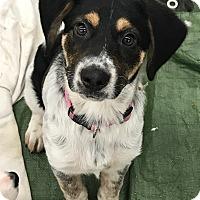 Adopt A Pet :: Siera - ST LOUIS, MO