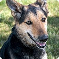 Adopt A Pet :: Shiva - Denver, CO