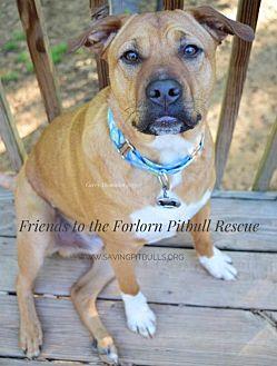 Shar Pei/American Staffordshire Terrier Mix Dog for adoption in Dallas, Georgia - Bodhi