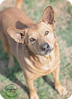 Cattle Dog/Carolina Dog Mix Dog for adoption in Iola, Texas - Comet