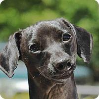 Adopt A Pet :: Porkchop - Ormond Beach, FL