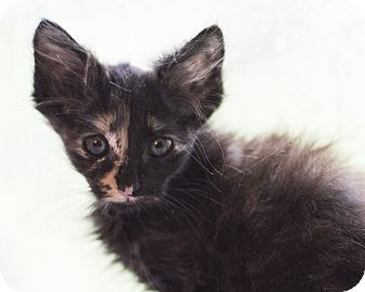 Domestic Mediumhair Kitten for adoption in Houston, Texas - Kitten 6