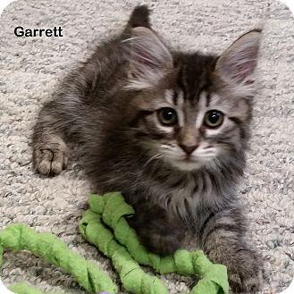 Domestic Shorthair Kitten for adoption in Portland, Oregon - Garrett