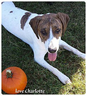 Hound (Unknown Type) Mix Dog for adoption in Mooresville, North Carolina - Charlotte