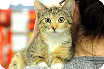 Domestic Shorthair Kitten for adoption in Houston, Texas - Reese