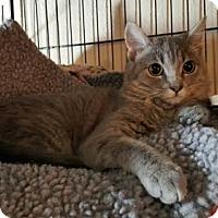 Domestic Shorthair Cat for adoption in Denver, Colorado - Simone