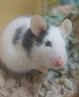 Mouse for adoption in Benbrook, Texas - Martin