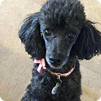 Adopt A Pet :: PUPPY - Peoria, AZ