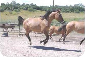 Appendix/Quarterhorse Mix for adoption in Durango, Colorado - Stiltz