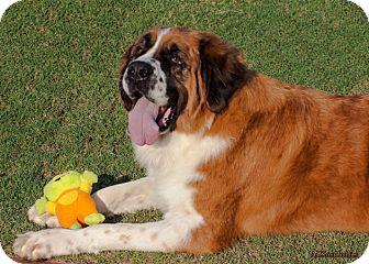 St. Bernard Dog for adoption in Glendale, Arizona - LOLA