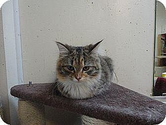 Domestic Longhair Cat for adoption in MADISON, Ohio - Miss Fluffy