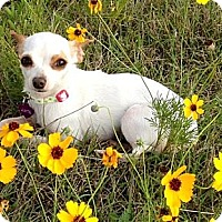 Adopt A Pet :: WILLOW - AUSTIN, TX