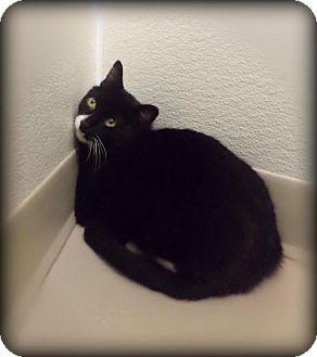 Domestic Shorthair Cat for adoption in Pekin, Illinois - Linus