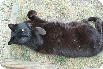 Domestic Shorthair Cat for adoption in San Pablo, California - RANDY