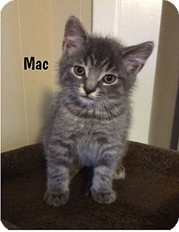 Domestic Shorthair Kitten for adoption in Huntsville, Ontario - Mac - Adopted November 2016