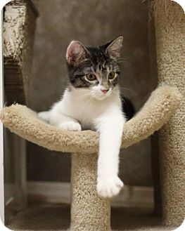 Domestic Shorthair Cat for adoption in Hartselle, Alabama - Fife