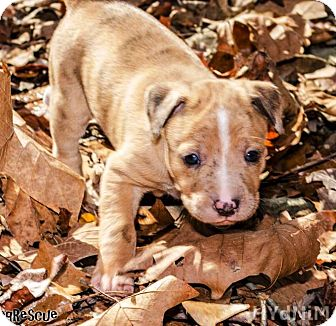 Catahoula Leopard Dog Puppy for adoption in Goodlettsville, Tennessee - Lily