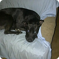 Adopt A Pet :: Arlo:CHILL Boy! (NJ) - Madison, WI