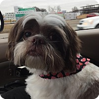 Adopt A Pet :: Tommy in CT - Manchester, CT
