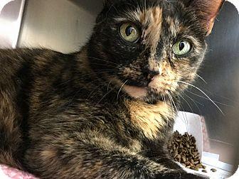 Domestic Shorthair Cat for adoption in Philadelphia, Pennsylvania - Velcro