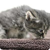 Domestic Shorthair Kitten for adoption in Walla Walla, Washington - Howie