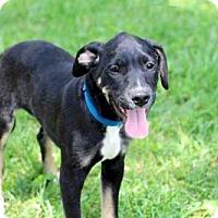 Adopt A Pet :: PUPPY BUZZY - Salem, NH
