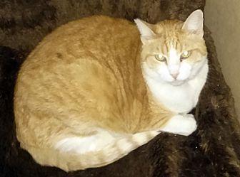 Domestic Shorthair Cat for adoption in Pasadena, California - Vera