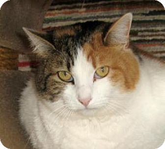 Domestic Shorthair Cat for adoption in Mountain Center, California - Butterphly