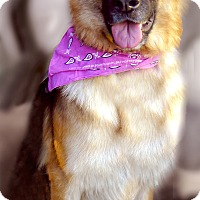 Adopt A Pet :: Sweety great gal - Sacramento, CA